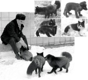 Belyaev_foxes