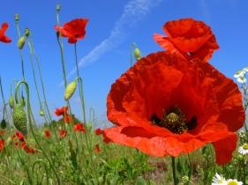 poppy-flower-9