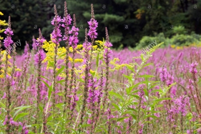 purple-loosestrife-lythrum-salicaria-ragweed-ambrosia-artemisiifolia-AE8PDK