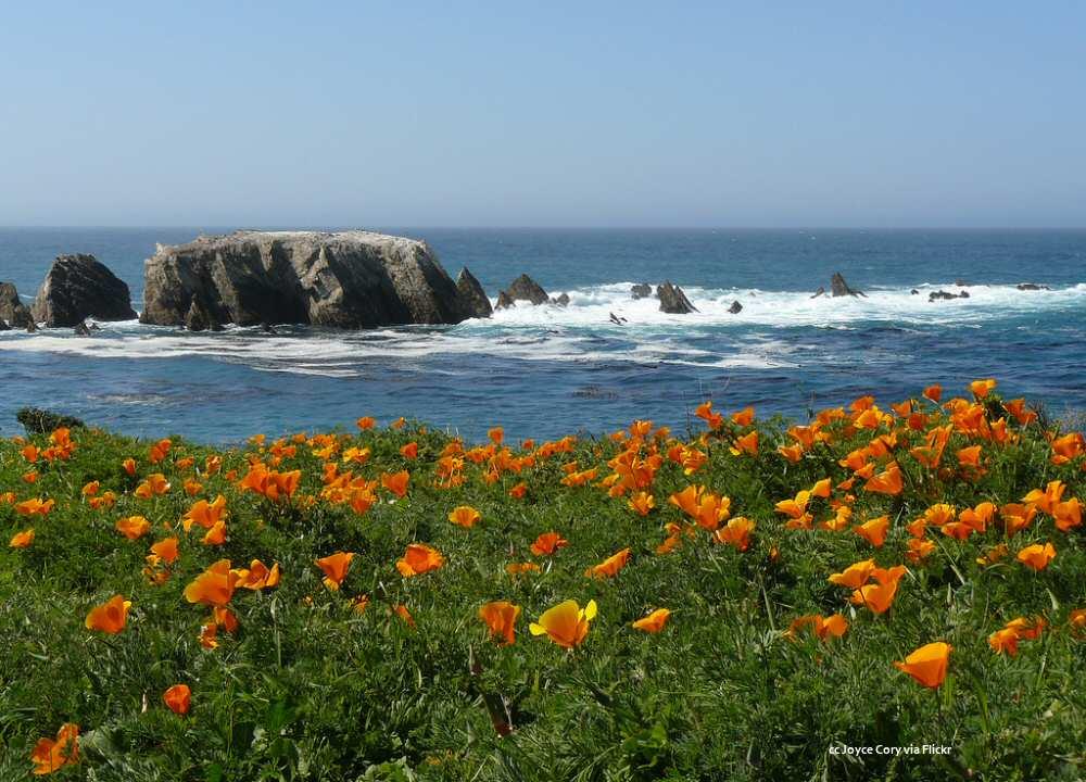 coastal_wildflowers_poppies_point_buchon